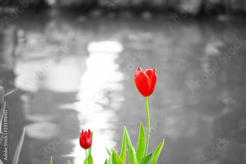 Tulipano Rosso Con Sfondo Bianco E Nero Buy This Stock Photo And