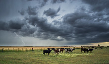 Storm And Cows In The Field