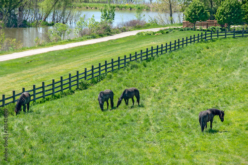 In de dag Lime groen black Friesian horses grazing in green alfalfa pasture with fence and river