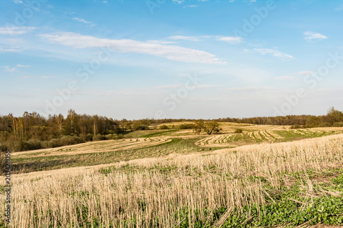 Foto op Aluminium Blauw field after harvest, cut off stalks of cereals and sprouting green grass, blue sky with small clouds, spring time