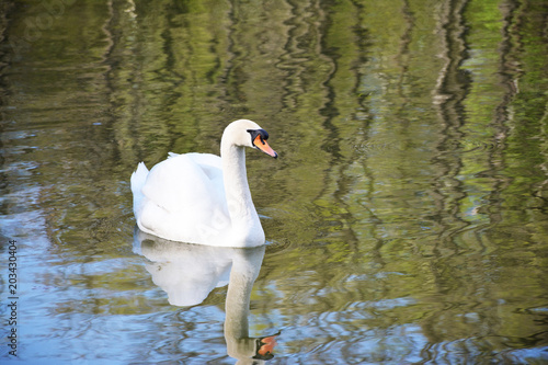 Foto op Canvas Zwaan white beautiful Swan on the water