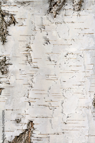 Natural background - the vertical texture of a real birch bark close-up in springtime - 203434226