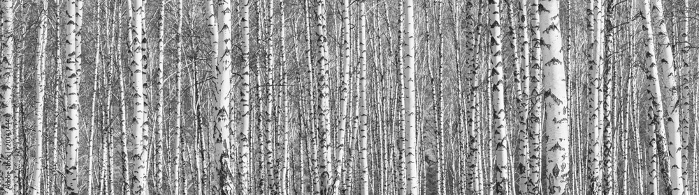 Fototapeta Birch grove on a sunny spring day, landscape banner, huge panorama, black-and-white