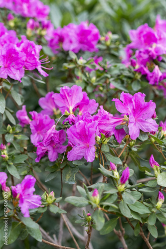 In de dag Azalea Pink Satsuki azalea blooming(Azalea Rhododendron)