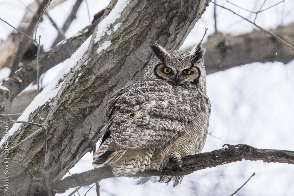 Fototapeta great horned owl (Bubo virginianus) in winter