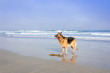 German Shepherd dog swimming at the beach, Cape Town, South Africa