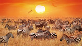 Fototapeta Sawanna - Groupe of wild zebras and antelopes in the African savanna against a beautiful orange sunset.  Wild nature of Tanzania. Artistic natural african image.