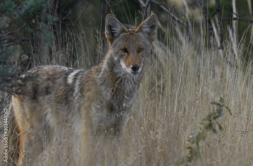 Tablou Canvas Coyote in West Texas