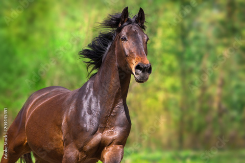 Bay mare close up portrait in motion