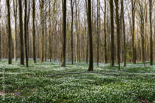 Fotografía White wood anemone flowers in Hallerbos Blue forest, Belgium