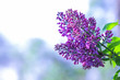 Lilac in violet toning, blossoming lilac in sunlight, purple flowers with copy space, blank for postcard, blurred background, festive bouquet, art