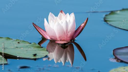 Foto op Canvas Waterlelies Eine Seerose (Nymphaea)