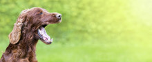 Funny Dog Yawning - Web Banner With Copy Space