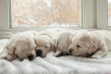Four Puppies Breed Golden Retr...