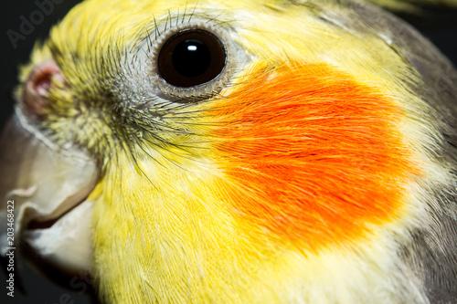 Valokuva  ave, calopsita, animal de estimação, foto macro, detalhes
