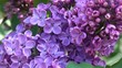 Large flowers of lilacs bloom in the botanical garden in the spring close-up