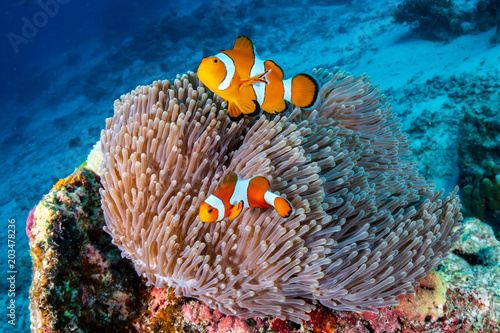 Fotografie, Obraz  A family of cute Clownfish in their home on a tropical coral reef