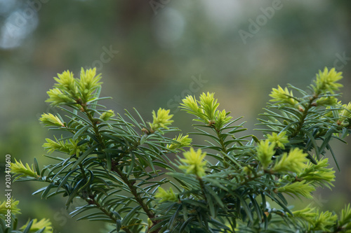 Fotografie, Obraz  Bright green new growth on pine tree branch close-up