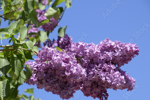 Foto op Canvas Lilac Beautiful purple lilac flowers outdoors. Lilac flowers on the branches