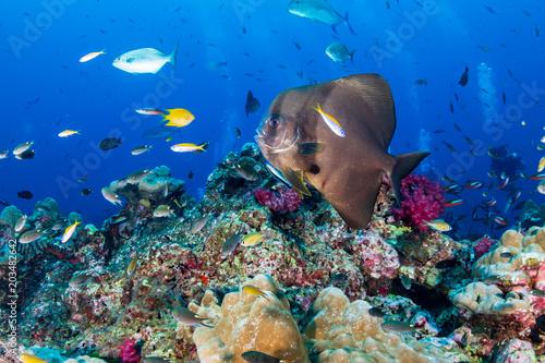 Tuinposter Koraalriffen Large Batfish (Spadefish) on a tropical coral reef