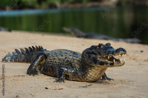 Foto op Plexiglas Krokodil A large caiman, Caiman latirostris, walks down the beach to enter the Cuiaba River.