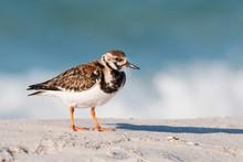 Ruddy Turnstone Bird On A White Sandy Beach In Florida.