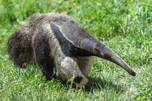 Giant Anteater, Animal Walking...