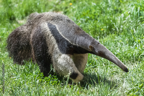 Foto Giant Anteater, animal walking in the grass