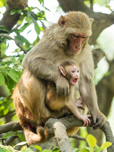 Macaque Monkey Mother Holds Her Cute Blue Eyed Baby In Bhandarkhal Jungle In Kathmandu, Nepal