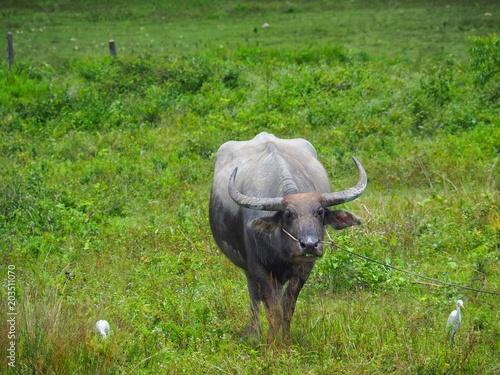 Staande foto Buffel Buffalo feeds on pasture