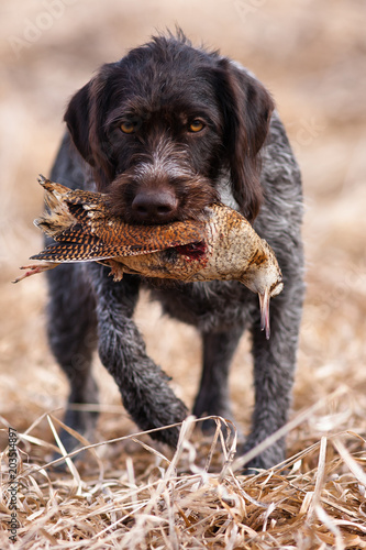 Fotografia, Obraz  hunting dog holding a woodcock