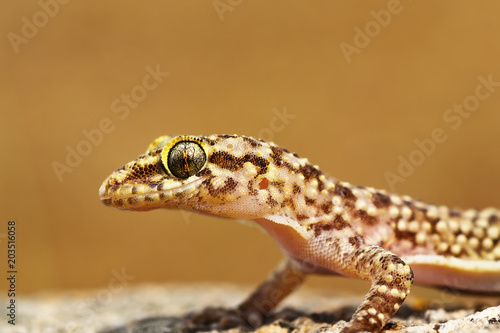 portrait of mediterranean house gecko