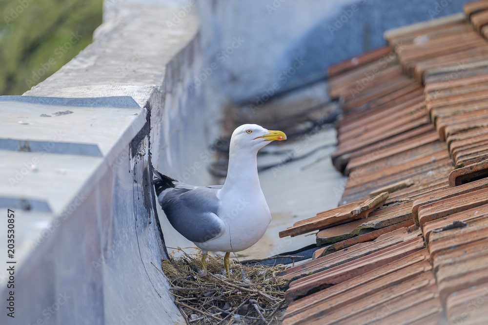 Mother seagull is sitting on the nest 3
