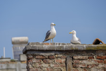 Seagull Couple On The Roof 3