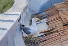 Mother Seagull Is Sitting On T...
