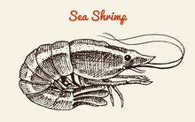 Shrimp With A Mustache. River And Lake Or Sea Creature. Freshwater Aquarium. Poster For The Menu. Engraved Hand Drawn In Old Vintage Sketch. Seafood Background.