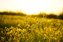 Field Nature Spring Yellow Flower