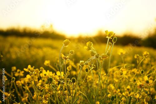 Foto auf Leinwand Honig field nature spring yellow flower
