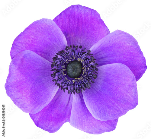 Violet Daisy (Anemone, Wildröschen) isolated on white background, including clipping path Canvas Print