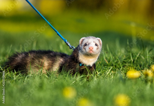 Fotografering ferret in the grass