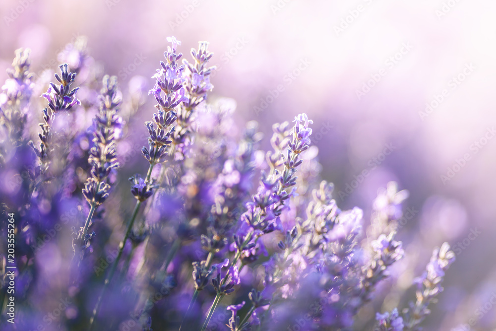 Fototapety, obrazy: Close-up view of Lavender in Provence, France