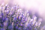 Fototapeta Kwiaty - Close-up view of Lavender in Provence, France