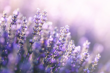 Fototapeta Do biura Close-up view of Lavender in Provence, France