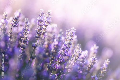 Spoed Foto op Canvas Lavendel Close-up view of Lavender in Provence, France