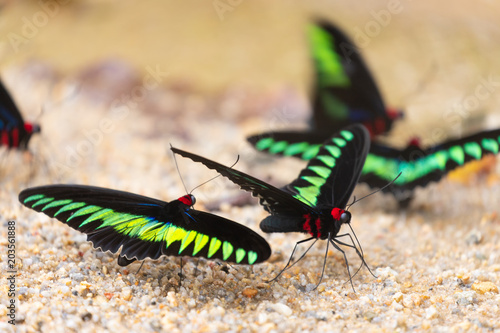 Photo Colorful large butterfly drinking water