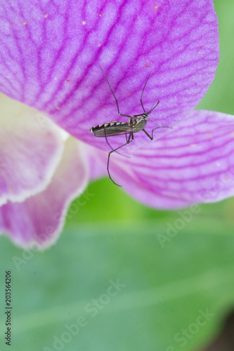 edes aegypti Mosquito Wallpaper Mural