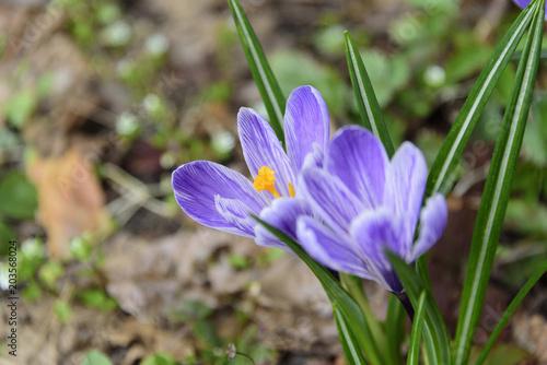 Foto op Canvas Krokussen Saffron, crocus selective focus