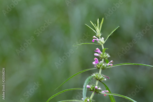 Herb Medicinal Plants Commonly Called Honeyweed Or Siberian Motherwort Scientific Name Is Leonurus Sibiricus Buy This Stock Photo And Explore Similar Images At Adobe Stock Adobe Stock