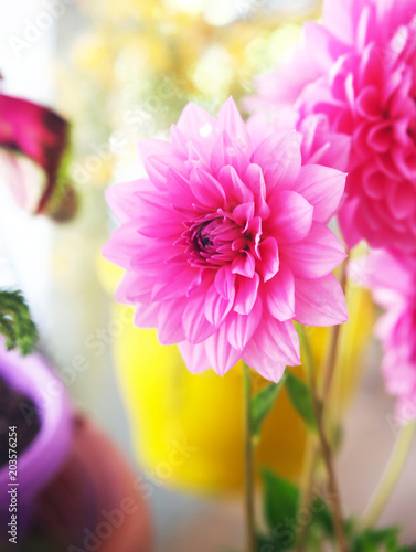 Foto op Canvas Dahlia blooming pink dahlia flower in the garden - spring nature flowers