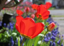 A Row Of Blooming Red Tulips With Grape Hyacinths In A Spring Garden